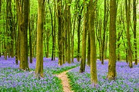 A carpet of bluebells in the beech woodland of West Woods in spring near Marlborough, Wiltshire, England.