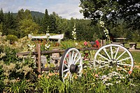 Rustic fence and white painted wooden wagon wheels in border with Leucanthemum vulgare - Daisies, orange Hemerocallis - Daylilies, and Persicaria poly...