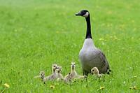 Canada Goose with Goslings (Branta canadensis), Hesse, Germany, Europe.
