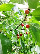 Close-up of Sam Cherries on a tree.
