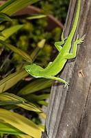 Green Anole Lizard (Anolis carolinensis). Morehead City, North Carolina, USA