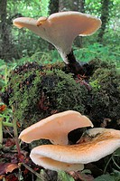 Fungi growing from a moss covered tree stump in woodland in County Westmeath, Ireland.