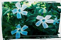 Vinca flowers in a garden with white paint frame
