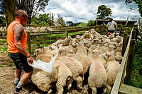 Sheep Are Moved Into A Sheep Pen In Readiness To Be Sold, Sheep Farm, Pukekohe, New Zealand.
