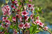 Peach tree flowers (Prunus persica). Buenos Aires Japanese Gardens.