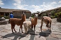 Lamas at Hacienda San Augustin de Callo, Lama glama, Cotopaxi National Park, Ecuador.