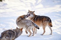 Close-up of two Eurasian wolves (Canis lupus lupus) in a snowy winter.