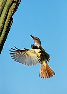 Ash-throated Flycatcher, Myiarchus cinerascens, Sonoran desert , Arizona, bringing food to nest in saguaro cactus