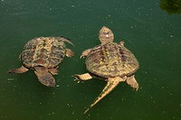 Snapping turtle, Chelydra serpentina, male attempting to mate with female, Maryland, USA