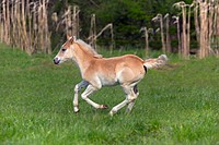 Haflinger foal running in meadow. Norfolk England UK