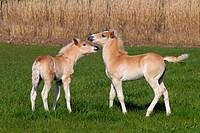 Haflinger foals playing in meadow. Norfolk England UK