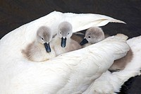 Mute Swan Cygnus olar with newly hatched Cygnets. Norfolk England UK