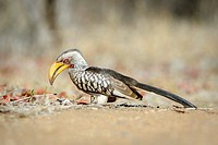Southern Yellow-billed Hornbill (Tockus leucomelas) adult, foraging on the ground, Kruger national park, South Africa.