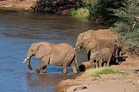 African elephants (Loxodonta africana) crossing the Ewaso Ngiro River in the Samburu National Reserve in Kenya.