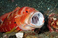An adult Tomato Cod, or grouper, Cephalopholis sonnerati, having teeth cleaned by a Blue Streak Cleaner wrasse, Labroides didimidiatus. A second fish ...