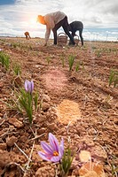 women collecting stigmas from saffron crocus flowers. madridejos. spain. Saffron is the stigma of the crocus flower, which originally came from Asia M...