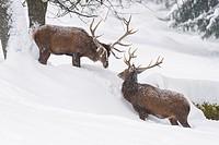 Red deers in Winter, Cervus elaphus, Bavaria, Germany, Europe.