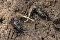 Blue Mud Crab fighting, Sungai Apong, Kuching, Sarawak, Malaysia.
