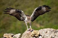 Spain, Catalonia, Pre-Pyrenees, Montsonis, Bonelli´s eagle or Eurasian hawk-eagle, Hieraetus fasciatus or Aquila fasciata, picture taken from hide, at...