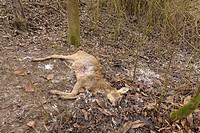 Dead Roe Deer (Capreolus capreolus), Hesse, Germany, Europe.
