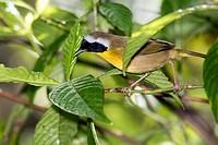 Common Yellowthroat (Geothlypis trichas) - Green Cay Wetlands, Boynton Beach, Florida, USA.