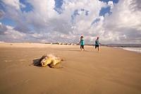 A dead Loggerhead sea turtle (Caretta caretta), washed up on a Mediterranean beach. Photographed in Israel in April.