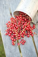Red currants on wooden table in garden. Fresh berries harvested. Summer gardening.