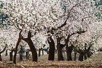 Almond trees in bloom, Almansa, Albacete province, Spain