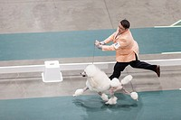 Seattle, Washington: Handler William Thompson runs the ring with Donavan, a Standard Poodle, at the 2017 Seattle Kennel Club Dog Show. Approximately 1...