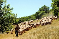 Shepherd and its herd of ewes, valley of the Cernon river, Sainte-Eulalie de Cernon, Aveyron, Midi-Pyrénées, France.