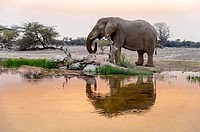 Elephant drinking at sunset (Loxodonta africana). Etosha National Park. Namibia. Africa