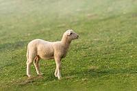 Lamb in a green field, Sant Pau de Segúries, Ripollès, Catalonia, Spain, Europe.