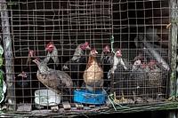 Chickens in a Cage, Kampung Tarat, Serian, Sarawak, Malaysia