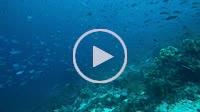 school of fish, Lunar Fusilier - Caesio caerulaurea scared whitetip reef shark - Triaenodon obesus, Oceania, Indonesia, Southeast Asia