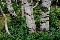 Abedul (Betula pendula) en el parque natural Collados del Ason. Cantabria. España. Europa.