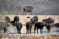 Buffalo (Syncerus caffer) herd by waterhole, Ant's Hill Reserve, near Vaalwater, Limpopo province, South Africa.