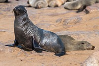 Cape Fur Seal (Arctocephalus pusillus). Cape Cross Seal Reserve. Skeleton Coast National Park. Namibia. South Africa