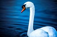 Portrait of a mute swan (Cygnus olor)