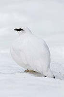 Rock ptarmigan (Lagopus muta / Lagopus mutus) cock in winter plumage
