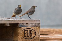 germany, saarland, homburg - A black redtail is searching for fodder.