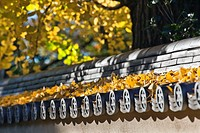 Autumn ginkgo leaves and ceramic roof tiles of Honmonji Temple in Ikegami, Tokyo, Japan.