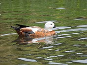 Female paradise shelduck (Tadorna variegata) is a large goose-like duck endemic to New Zealand. Whangarei, New Zealand.