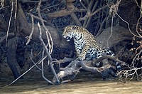 Young jaguar (Panthera onca) on a branch over Cuiaba river, Pantanal, Mato Grosso State, Brazil.