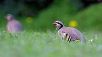 A Chukar partridge - Alectoris chukar, Greece