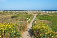 Wildflowers and a trail that leads to Dog Beach in Ocean Beach. San Diego, California.