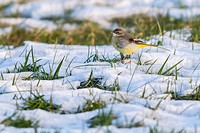 Germany, Saarland, Homburg - A grey wagtail in the snow.