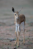 Springbok (Antodorcas marsupialis) - Lamb, Kgalagadi Transfrontier Park in rainy season, Kalhari Desert, South Africa/Botswana.