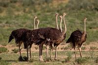 Common ostrich (Struthio camelus) - Females, Kgalagadi Transfrontier Park, Kalahari desert, South Africa/Botswana.