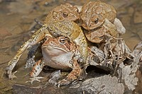 American toads, Anaxyrus americanus, formerly Bufo americanus, several males attempting to mate with a single female, Maryland