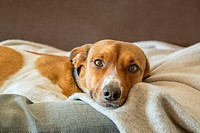 Relaxing mixed breed dog on a blanket.